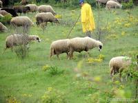 Овчар, който пасе стадото, е изключителен сюжет.