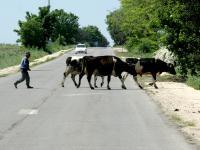 Ако видят стадо, което пресича пътя, всички питат дали животните са свещени.